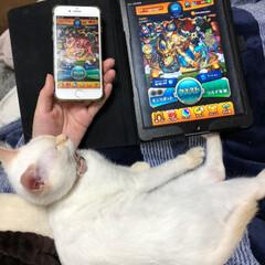 かまってちゃん/ふて寝/子猫/白ねこ/LIMIAペット同好会/ペット/... お母ちゃん、ゲームばっかり! いーもん!…