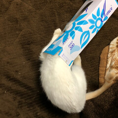 サイズの比較/成長/子猫/白ねこ/LIMIAペット同好会/ペット/... 身体も大きくなりました。 ティッシュの箱…