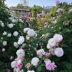 早朝のバラ/デート/ひらパー/ローズガーデン/バラ園/おでかけ/... 今日はダーとデートしてきました💕 場所は…