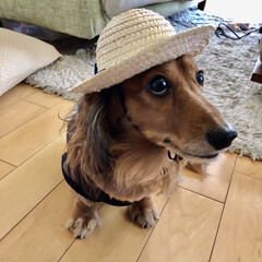 麦わら帽子/ミニチュアダックスフンド/夏対策/夏ファッション/犬/購入品 お出掛け用の麦わら帽子でおすまし。 似合…