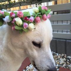 あんこさん息子さんご結婚おめでとう.../花かんむり/紀州犬女子/ペット/ハンドメイド うちもいつか〜お嫁に行けるやろかぁ🐶💖💖…