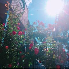 ♯つる薔薇さん達♯初めて咲いた子/住まい 3年目のつる薔薇さん太陽のソレイユなんち…