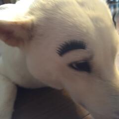 つけまつげ/紀州犬琥珀ちゃん/ペット 琥珀ちゃん生まれて初めてのつけまつげ(≧…