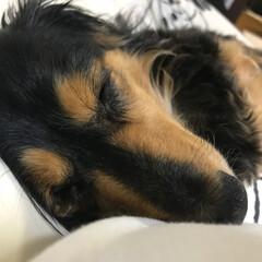 ミニチュアダックスフント/ペット 私の肩にくっついて寝てるかわいい子💕