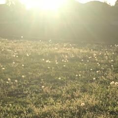 夕陽/綿毛/タンポポ 夕陽をあびてタンポポの綿毛が光っているよ…