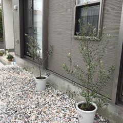 白ぃ植木鉢/ガーデニング/庭/オリーブの木/暮らし オリーブの木を。。。🏡  まだまだ未完成…