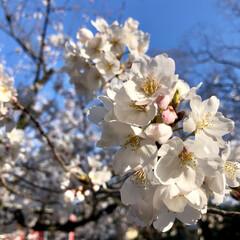 京都/桜散策/平成最後の/春のフォト投稿キャンペーン/フォロー大歓迎/おでかけ/... 春の一枚🌸 参加します。 今週末はどこも…