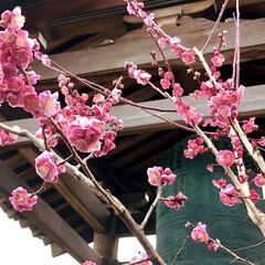 梅の花/LIMIAおでかけ部/フォロー大歓迎/おでかけ/風景/小さい春 小さい春見つけた🌸  花曇りなお天気でし…