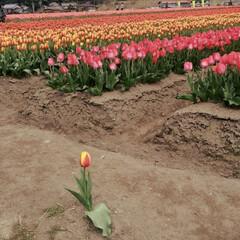 チューリップ畑/LIMIAおでかけ部/フォロー大歓迎/おでかけ/旅行/風景/... コンテスト参加✨ チューリップ畑の一コマ…