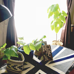 植え替え/グリーンのある暮らし/観葉植物のある暮らし/ウンベラータ剪定記録/ウンベラータ/IKEA/... 『わたしのお気に入り』 1番右の親ウンベ…