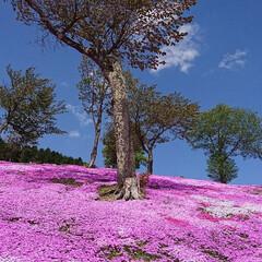 芝桜/令和の一枚/おでかけ この前芝桜を見に🌸  満開まではいってな…