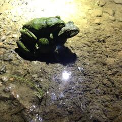 自然/ペット/カエル/山道 オンブカエルみっけたww