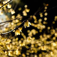 逆光/宇都宮タワー/宇都宮/公園散歩/ロウバイ 良い天気なので、公園散歩🎵 ロウバイの花…