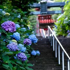 石段/大平山神社/栃木市/あじさい/アジサイ/紫陽花 今日から7月 梅雨の真っ只中 雨が降った…
