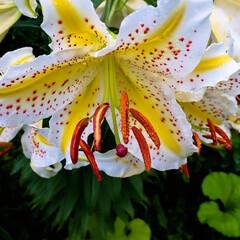 阿部興業株式会社/木の家/栃木県/宇都宮市/ユリの花/ユリ 見事な咲きっぷりのユリの花 お客様のおう…