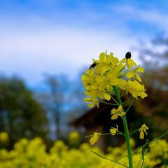 陽気/公園/壬生町/菜の花/チューリップ/春の花 春真っ盛り  過ごしやすい陽気ですが、今…(2枚目)