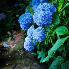 石段/大平山神社/栃木市/あじさい/アジサイ/紫陽花 今日から7月 梅雨の真っ只中 雨が降った…(2枚目)