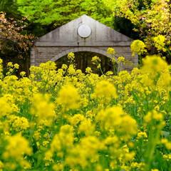 陽気/公園/壬生町/菜の花/チューリップ/春の花 春真っ盛り  過ごしやすい陽気ですが、今…(3枚目)