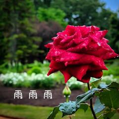 栃木県/鮮やか/しっとり/雨の日/バラ 雨に濡れた花 しっとりした雰囲気に🎵  …(2枚目)