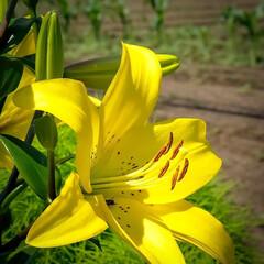 宇都宮市/栃木県/ビタミンカラー/ユリ/花 ご近所様の畑で咲いているユリの花  色あ…(2枚目)