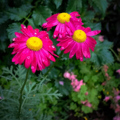 栃木県/鮮やか/しっとり/雨の日/バラ 雨に濡れた花 しっとりした雰囲気に🎵  …(1枚目)