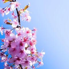 真岡市/ピンク色/河津桜/カワヅザクラ カワヅザクラ 早咲きで、長く楽しめる桜 …