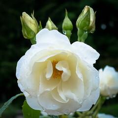 栃木県/鮮やか/しっとり/雨の日/バラ 雨に濡れた花 しっとりした雰囲気に🎵  …(3枚目)