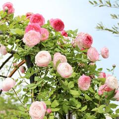 バラ/薔薇/アーチ/エクステリア/お庭/ガーデニング/... 春になると展示場のアーチにバラが花を咲か…