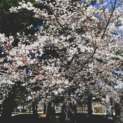 仕事/春カラー/さくら/おでかけ 長野県、島内音文のさくら🌸です🥰❣️ 昔…