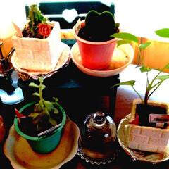 ワッツ/多肉植物/サボテン/観葉植物のある暮らし/季節インテリア 出窓のこの位置が私の植物コーナーです❣️…