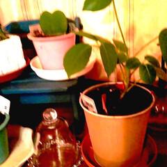 植え替え/ワッツ/観葉植物のある暮らし/100均 夜だけど(笑)  ブラッサイヤを植え替え…