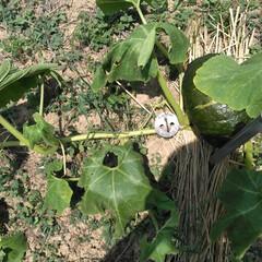 かぼちゃ これぞ、土手カボチャ! ツルが14メート…(2枚目)