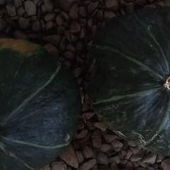 ハロウィン/かぼちゃ/おうちごはん 朝、収穫したかぼちゃ2つ!  デカい爆笑…