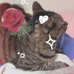 にゃんこ同好会/キジトラ女子/おやすみなさい/猫 おやすみなさーい☺️💕 また明日です〜🐾🍊