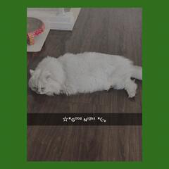 おやすみなさい/チンチラシルバー/にゃんこ同好会/猫 もう眠たいです🥱  今日もお疲れ様でした…