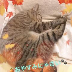 おやすみなさい/キジトラ女子/にゃんこ同好会 また明日です 良い夢を⭐️⭐️⭐️