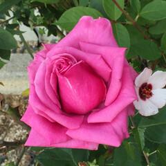 玄関周りの花たち 鉢植えの薔薇🌹綺麗に咲いてるのでパチリ!…(2枚目)
