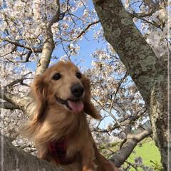 春のフォト投稿キャンペーン/LIMIAペット同好会/ペット/犬/わんこ同好会/春の一枚 桜🌸の木登っちゃった🐶ワン