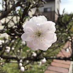 桜/LIMIAおでかけ部/小さい春 隣のお家の桜ちゃん家のサクラです。 まだ…