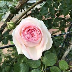 お庭/バラ/薔薇/玄関あるある 今年もバラが庭に咲きました。ちょっと、去…(3枚目)