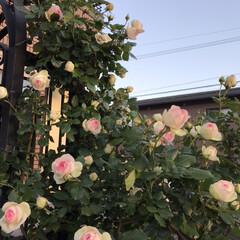 お庭/バラ/薔薇/玄関あるある 今年もバラが庭に咲きました。ちょっと、去…(4枚目)