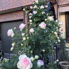 お庭/バラ/薔薇/玄関あるある 今年もバラが庭に咲きました。ちょっと、去…
