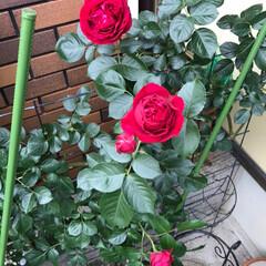 バラ/ガーデニング/フェンス薔薇/薔薇/フォロー大歓迎 お天気が良くて、あっという間に満開。沢山…