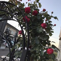お庭/バラ/薔薇/玄関あるある 今年もバラが庭に咲きました。ちょっと、去…(2枚目)