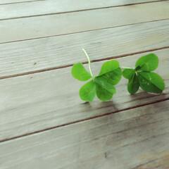四つ葉/グリーン 公園で見つけた四つ葉のクローバー🍀🍀