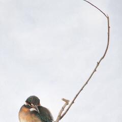 野鳥/カワセミ/北海道/冬 麗人の休息  #北海道 #石狩市 #当別…
