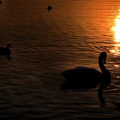 サンクチュアリ/白鳥/マガモ/朝焼け/シルエット/湖/... Sanctuary  苫小牧市字植苗 ウ…