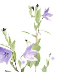 植物/花/桔梗/キキョウ 君の目の前の 小さな草も 生きている 笑…