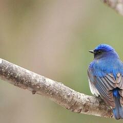 野鳥/オオルリ/藍/青 Blue melody  瑠璃の旋律