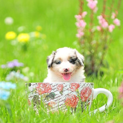 犬/子犬/コーヒーカップ/芝生/グリーン/オーシー/... Smile  Australian Sh…